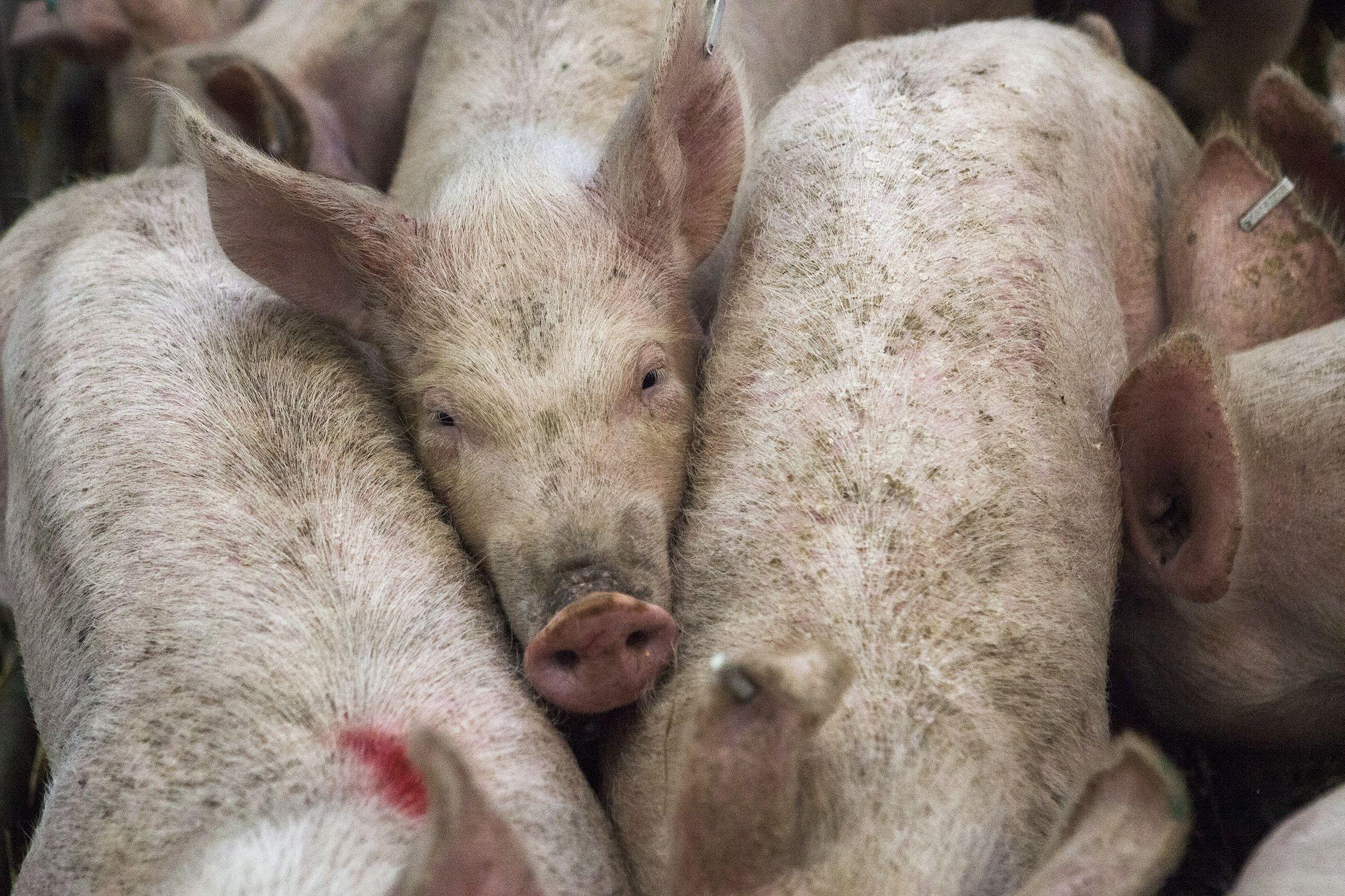 Factory farming - pigs.