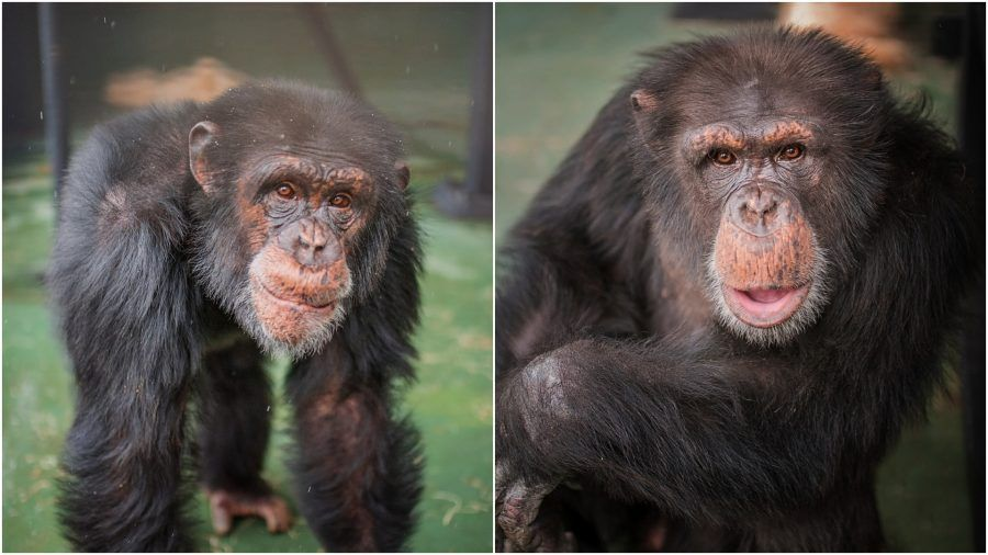 chimpanzees freed to sanctuary