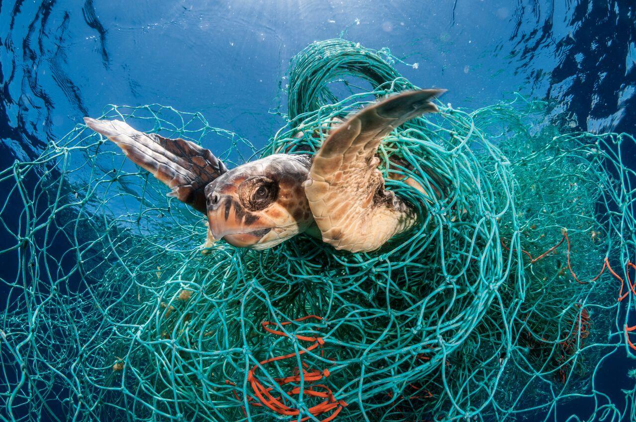 turtle stuck in net