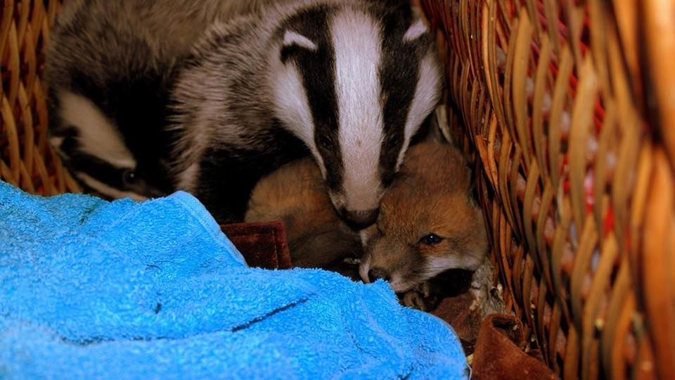 fox and badger cubs