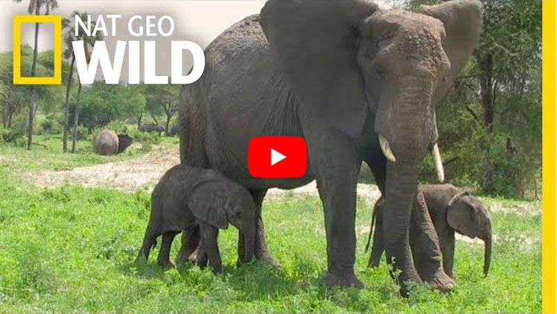 Video Rare Baby Elephant Twins Seen Thriving In Their