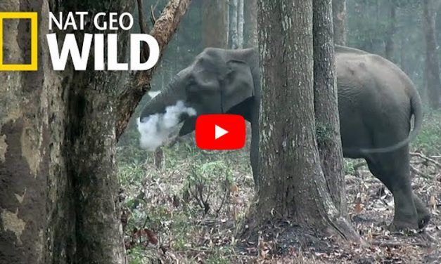 VIDEO: Wild Elephant Caught 'Blowing Smoke' in Rare Footage