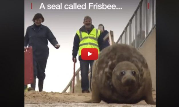 VIDEO: Injured Seal Returns to the Wild After 'Miracle' Recovery