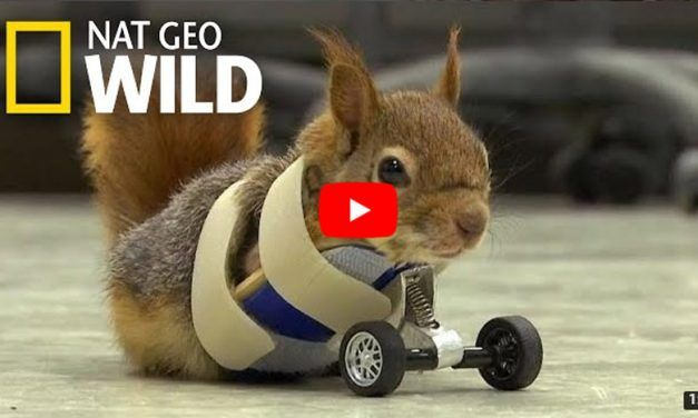 VIDEO: 2-Legged Squirrel Gets Around with Tiny Set of Wheels