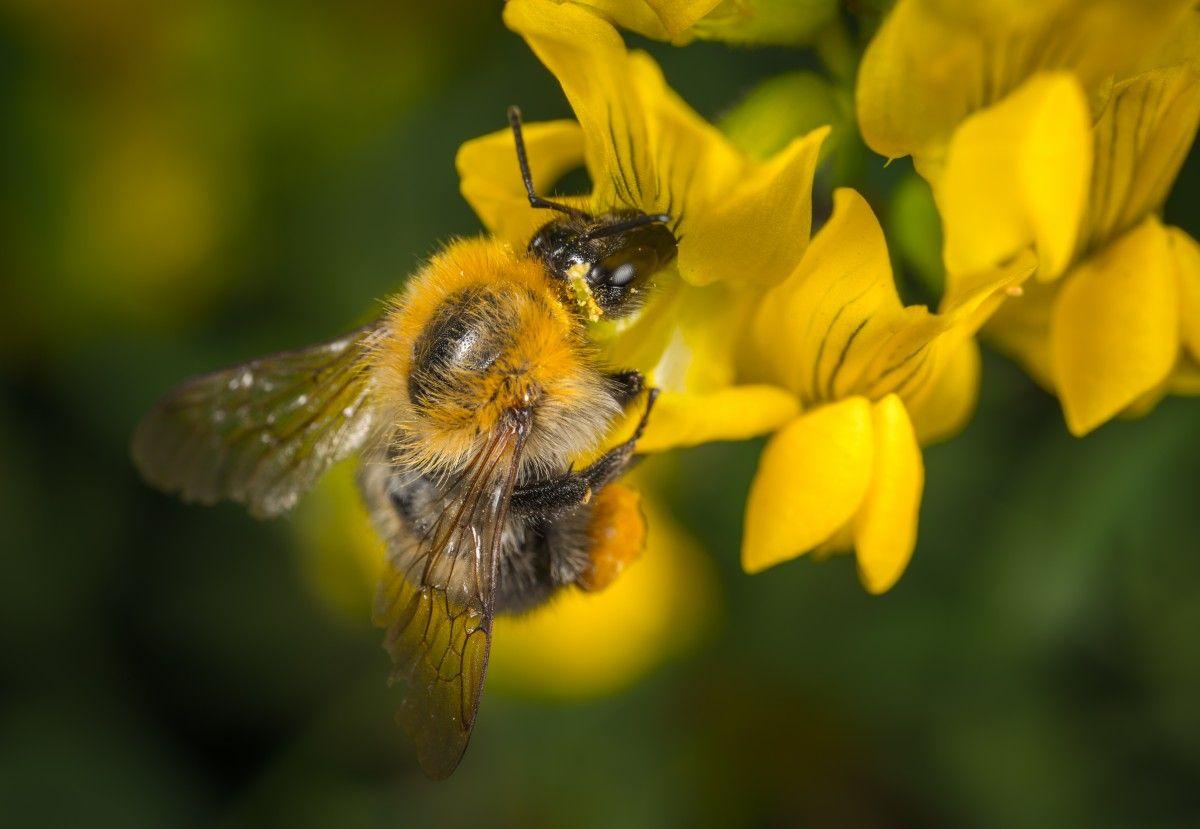 bee, pollination