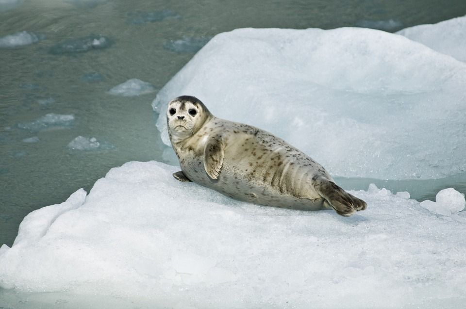 India Bans Seal Skins, Just Days Before Canada Starts the Bloody Annual Hunt
