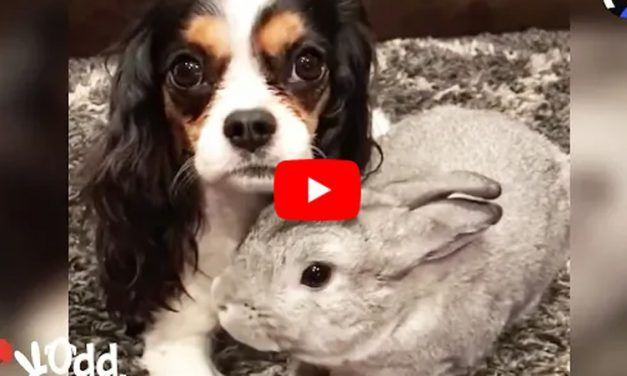 VIDEO: Bunny Comforts Sick Dog 'Sister' To Help Her Feel Better Again