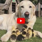 VIDEO: Fred the Dog Has Adopted Nine Ducklings