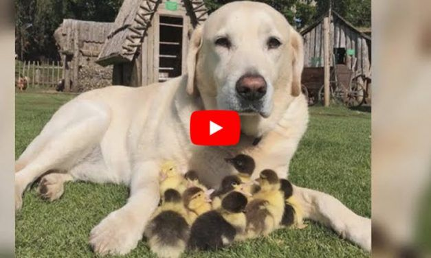 VIDEO: Fred the Dog Has Adopted Nine Adorable Ducklings