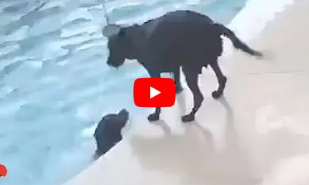 VIDEO: Dog Rescues Another Dog from Drowning in the Pool