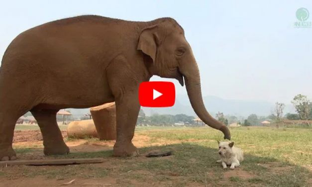 Video: These Dogs and Elephants are the Best of Friends