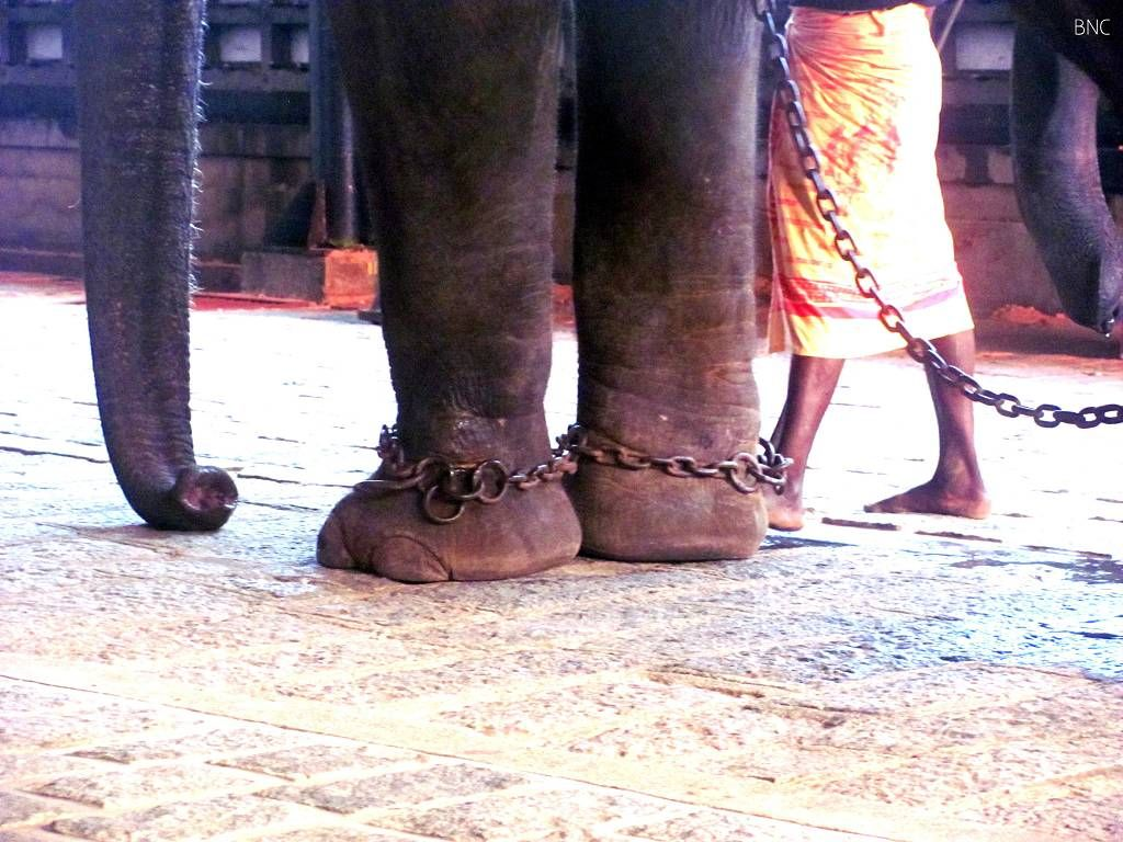 Captive elephants mistreated in Kerala, India