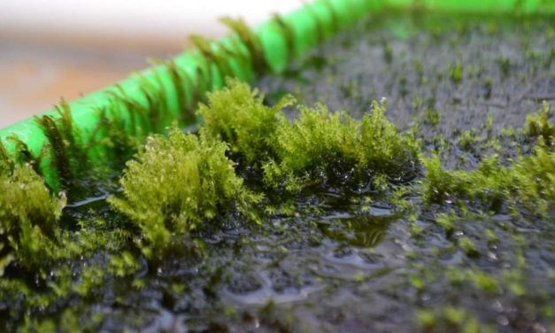 Amazing Moss Can Remove Arsenic from Polluted Drinking Water