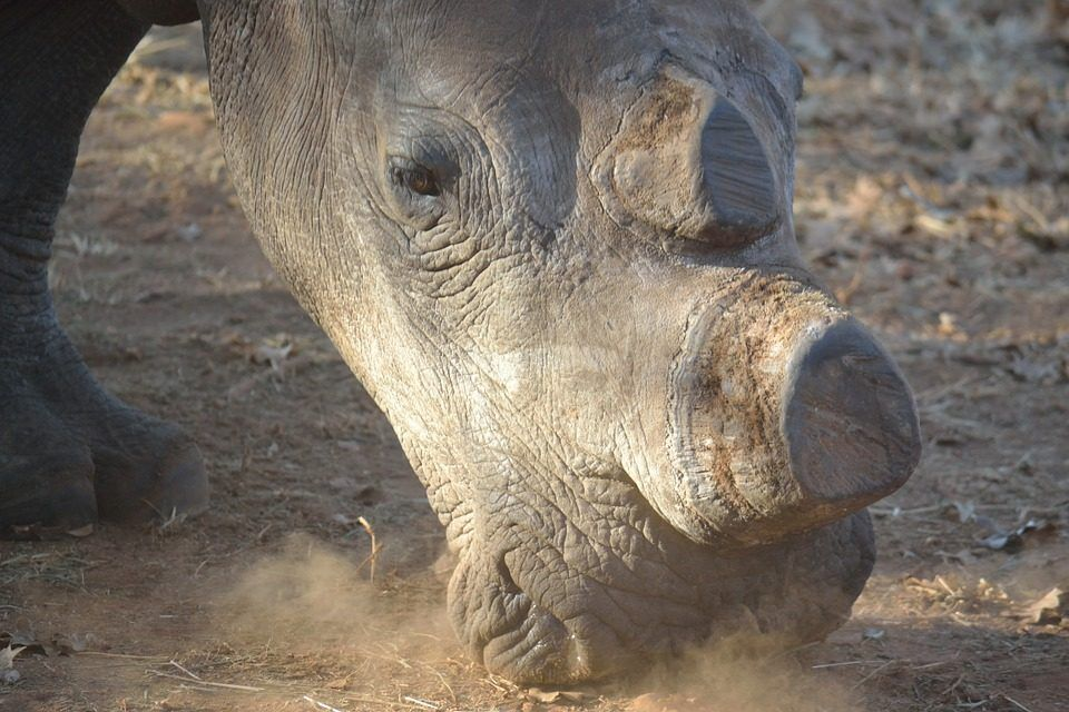 Conservationists Resort to Chopping off Rhino's Horns to Protect Them From Poachers
