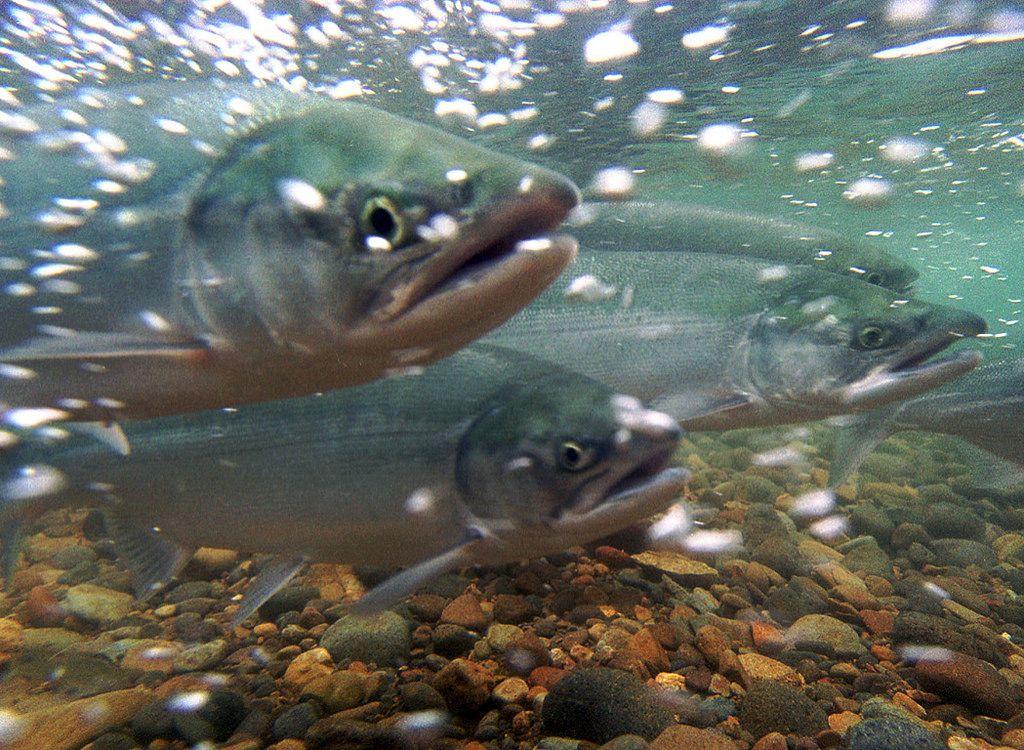 salmon endangered