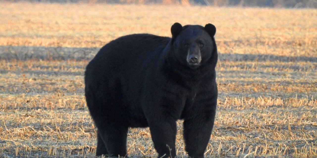 'Black Bear Festival' Ditches its Captive-Animal Display, Thanks to Activists