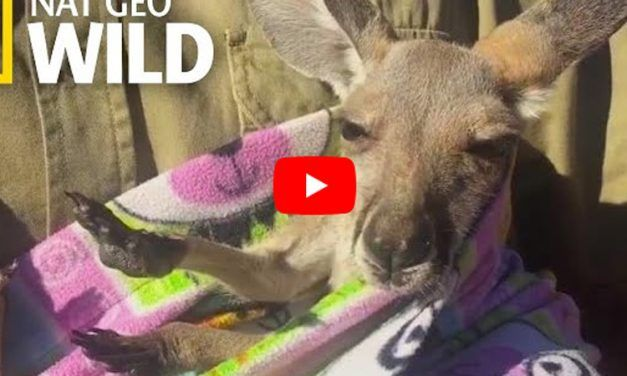 Rescuers Give Orphaned Baby Kangaroo A Handmade Pouch to Get Cozy In