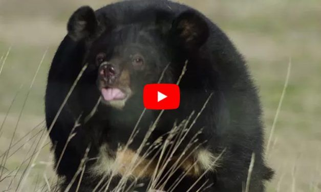 Lily The Bear Was Once A Prisoner at a Roadside Zoo – But Just Look At Her Now!