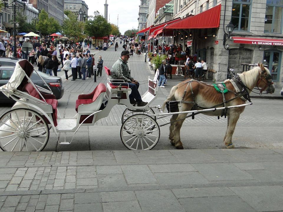 carriage horse montreal