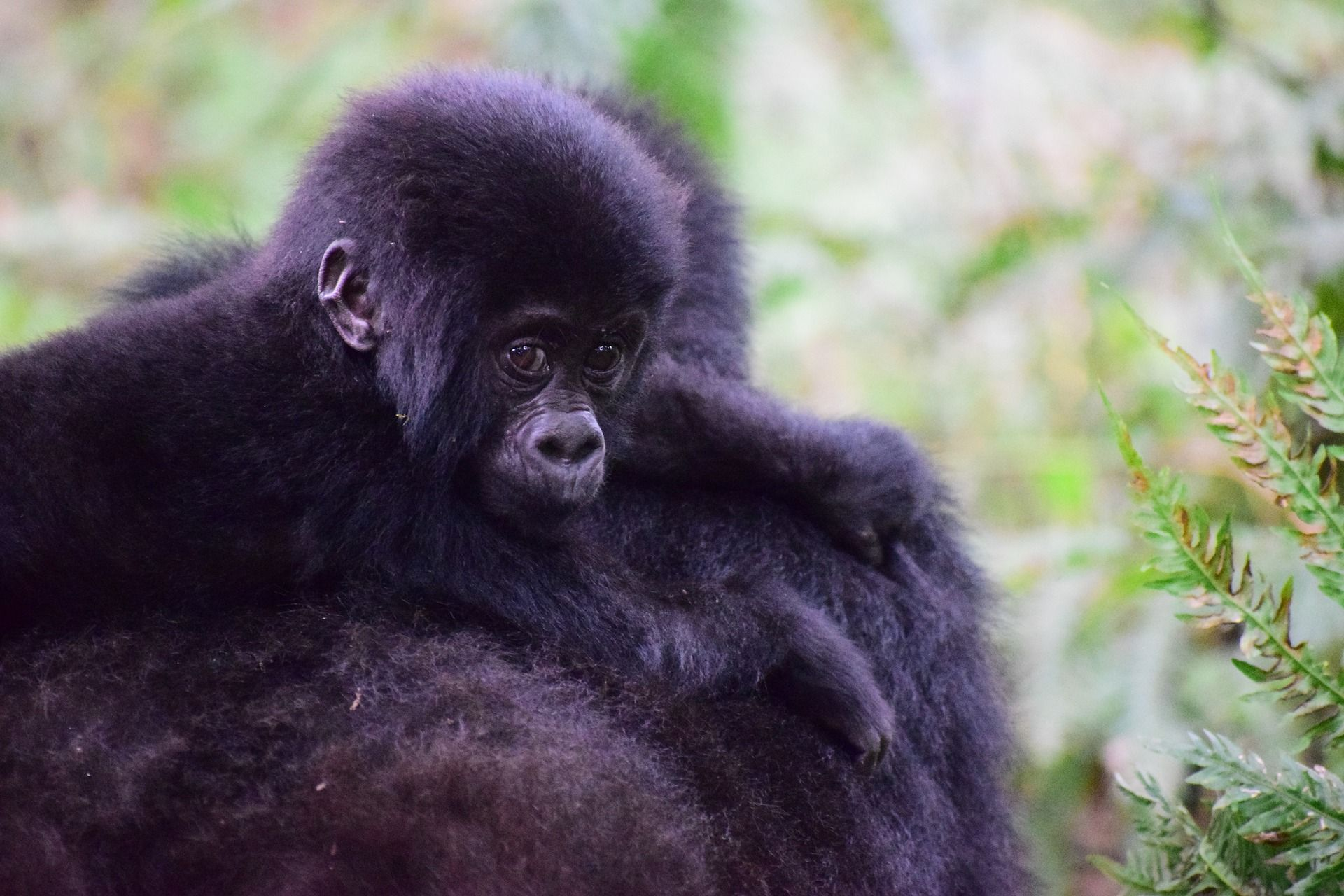 Critically Endangered Mountain gorillas in Uganda