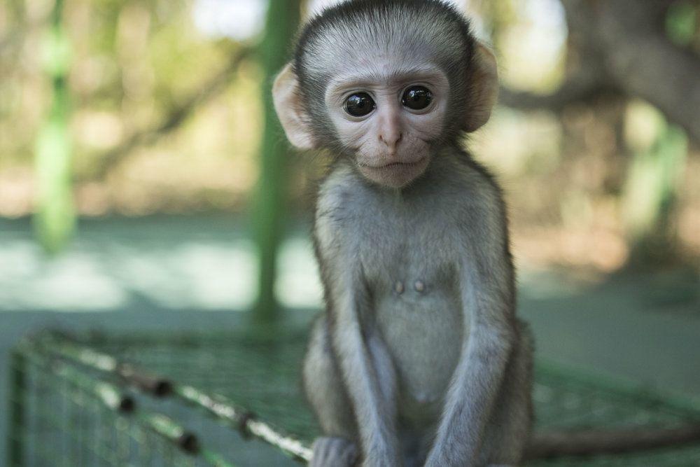 vervet monkey rescue