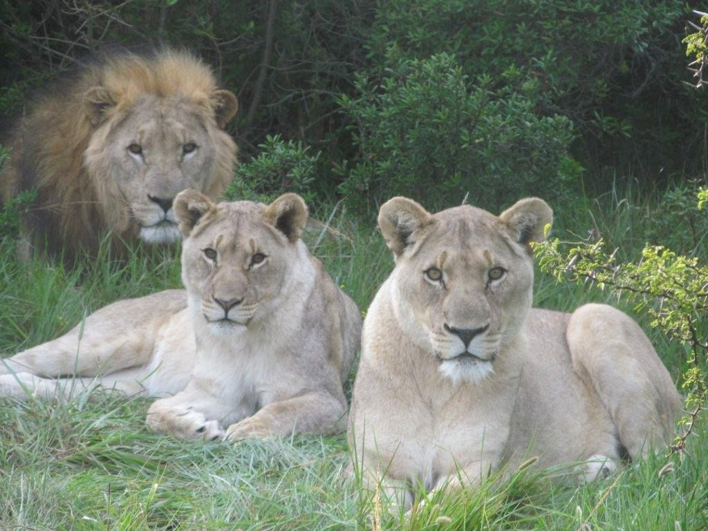 Lions at Sibuya Game Reserve