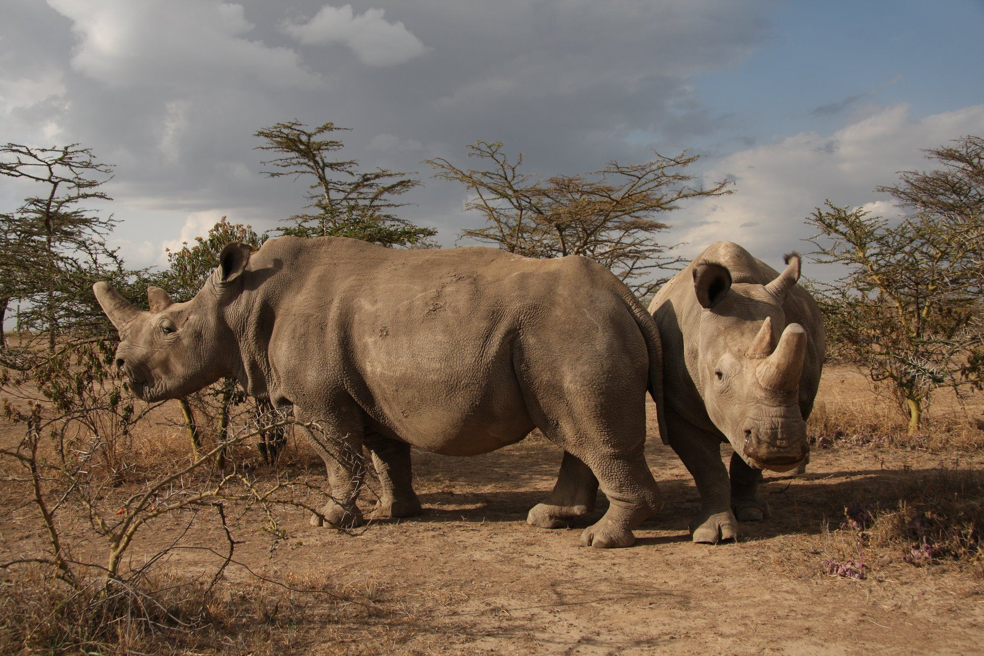 The last two northern white rhinos