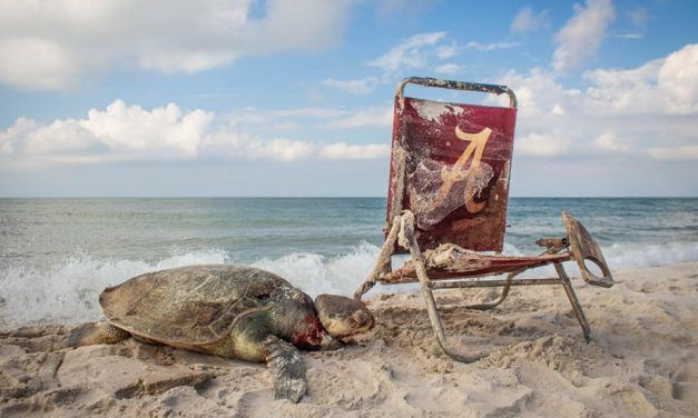 Endangered Sea Turtle Found Strangled in Beach Chair