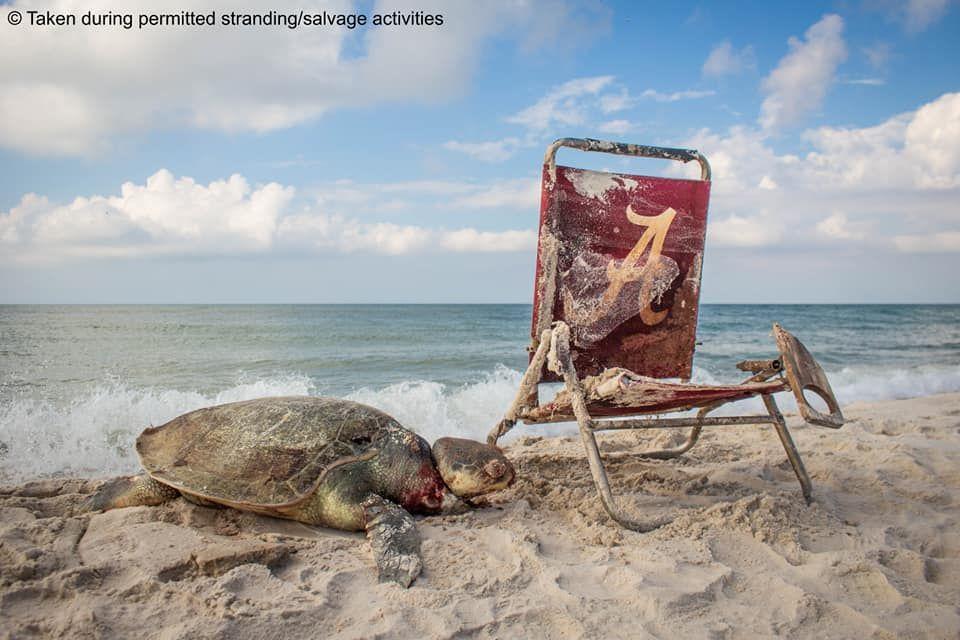 sea turtle strangled