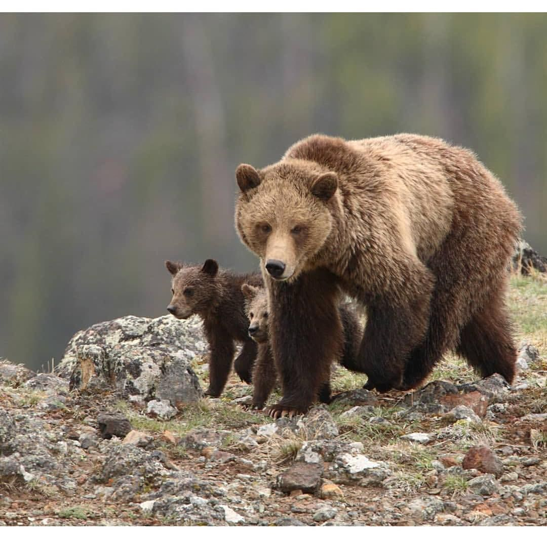 Grizzly bears in Wyoming