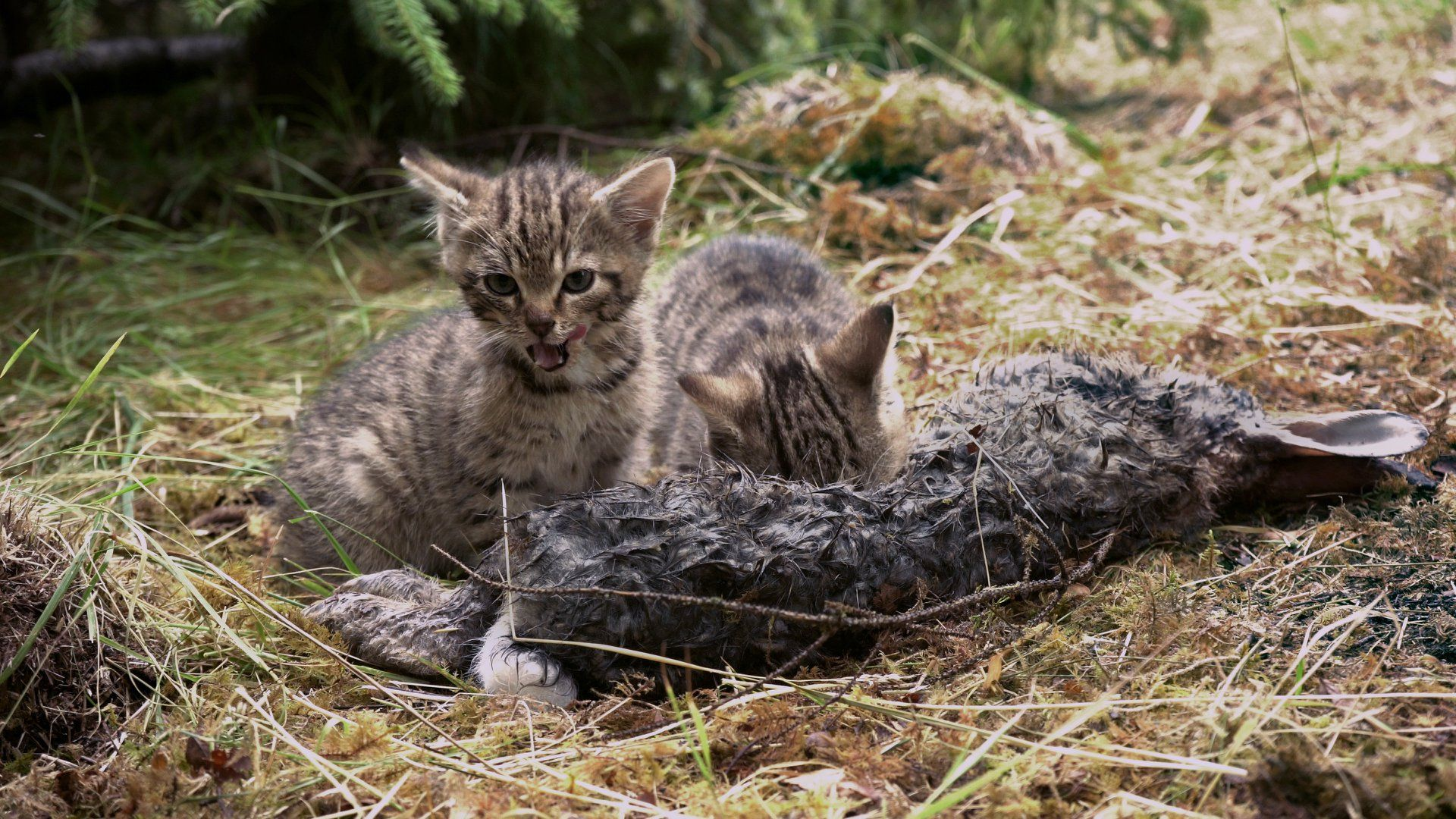 Scottish wildcats rescued