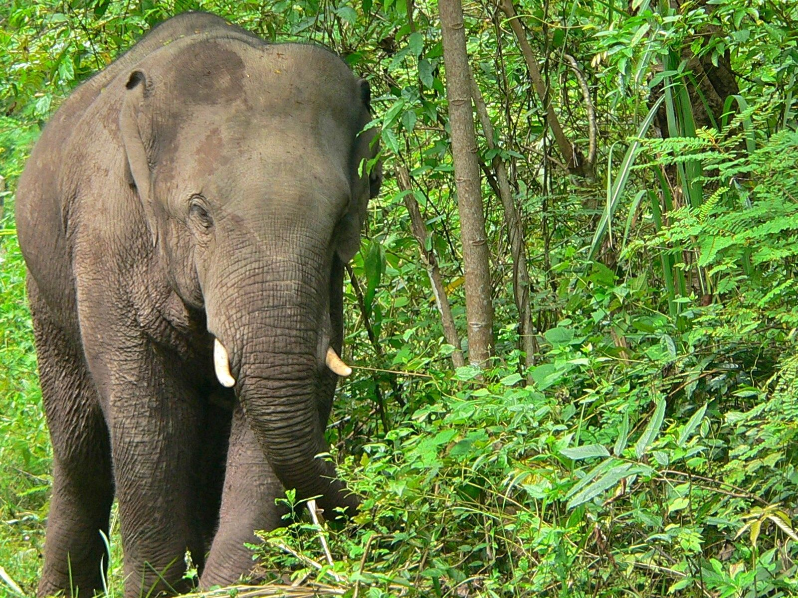 Asian elephant in the forest