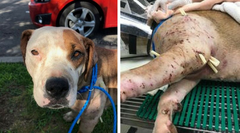 SIGN: Justice for 'Bait Dog' Covered With 200 Puncture Wounds