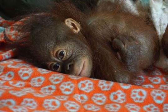 A New Orangutan Orphanage Opens in Borneo!