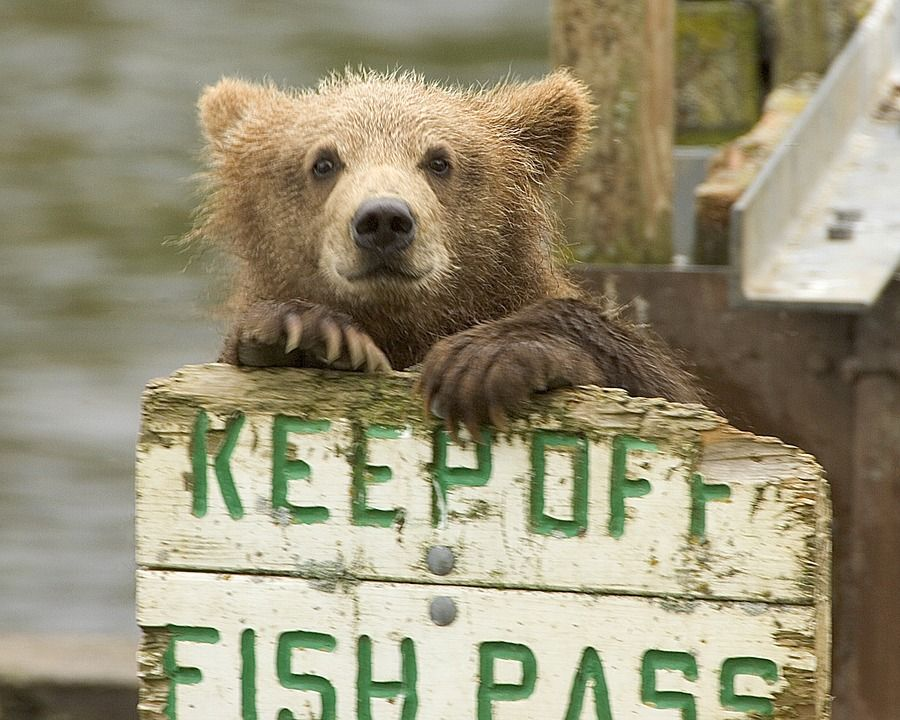 Brown Bear Cub looking all cute with a sign