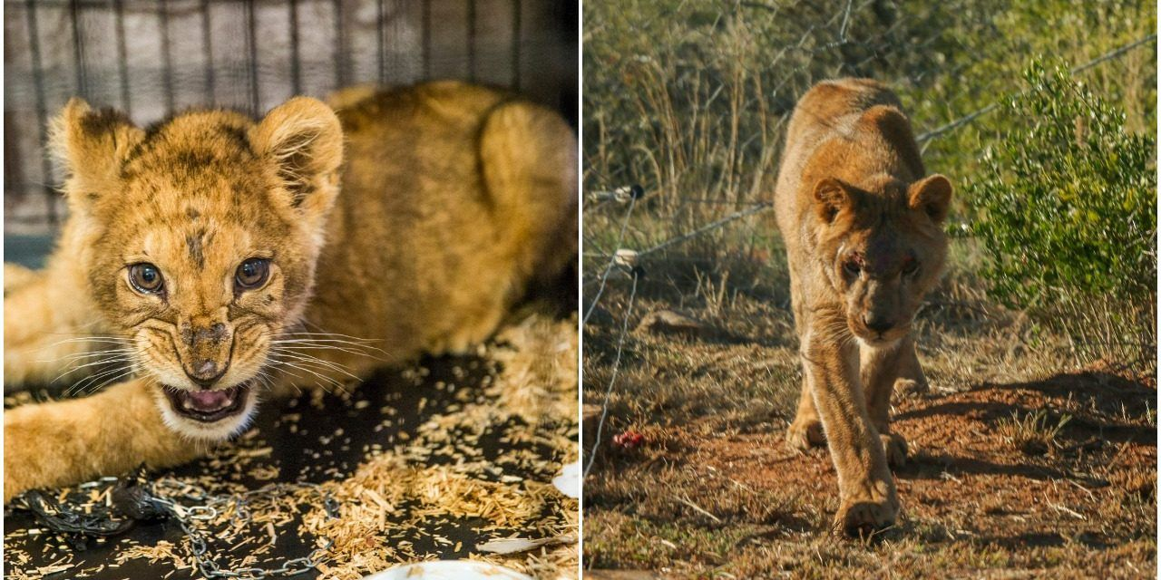 """Pet"" Lion Cub Kept in Tiny Cage and Beaten Finally Knows Freedom"