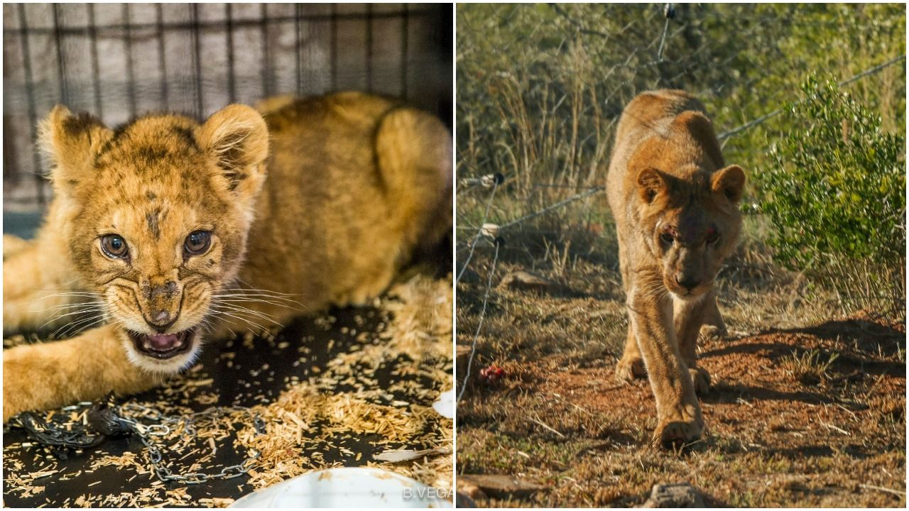 Abused cub finds new home in South Africa