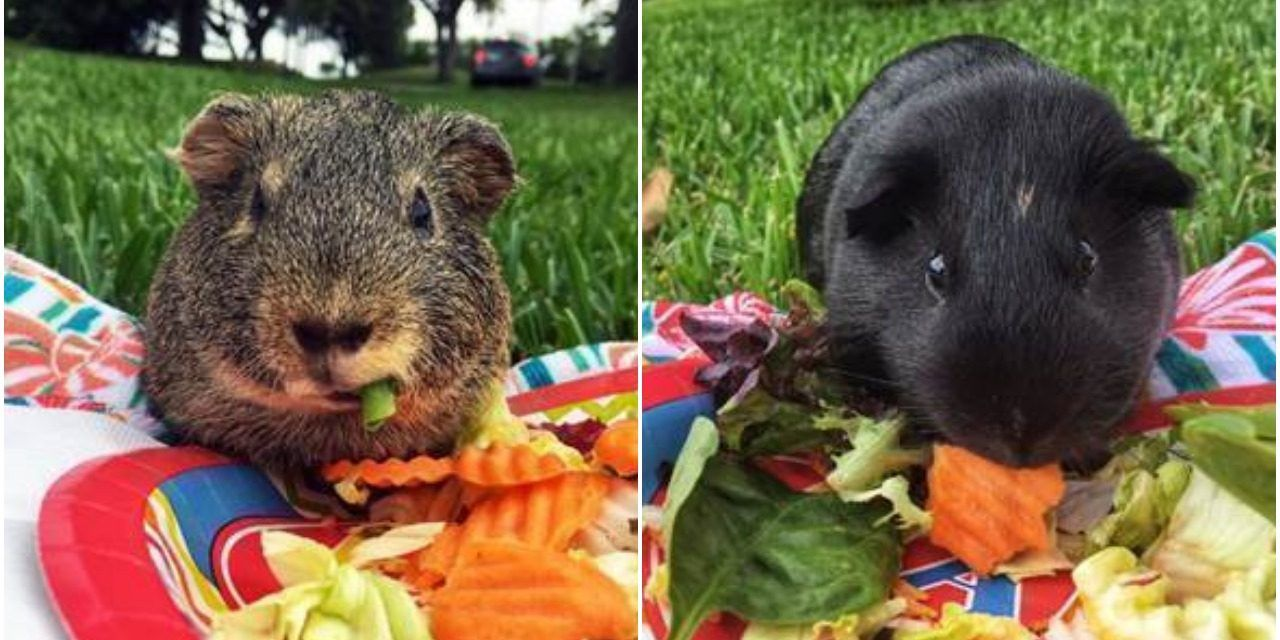 Formerly Abused Guinea Pigs Now Get Picnics in the Park