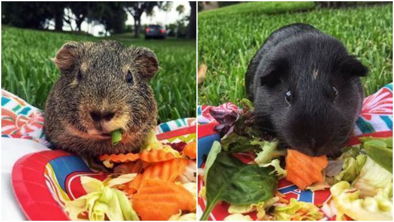 Rescued Guinea Pigs