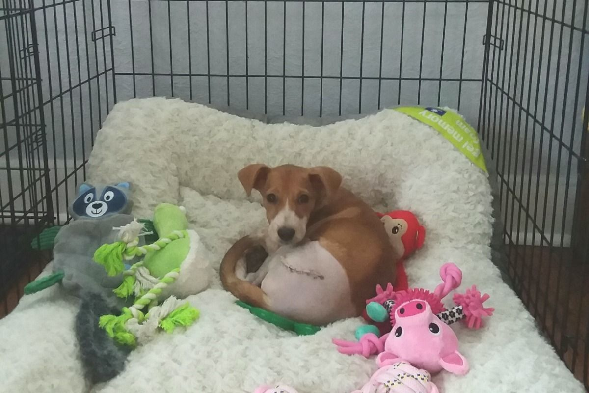 Rescued dog survives surgery.