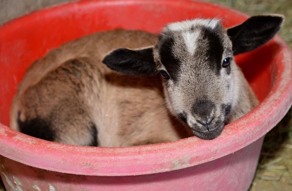 Sheep Saved from Slaughter will Become 'Therapy Sheep' to Heal Humans