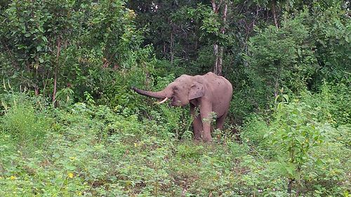 An elephant in the forest. Vietnam recently took steps to put a stop to this cruel practice. Learn more at Lady Freethinker.