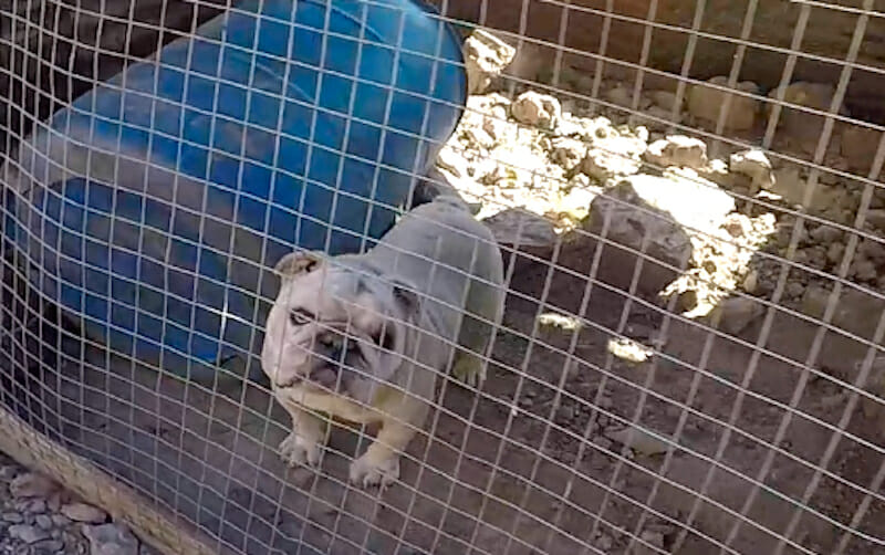 Photo of a bulldog in a cage illegal dogfight breeder
