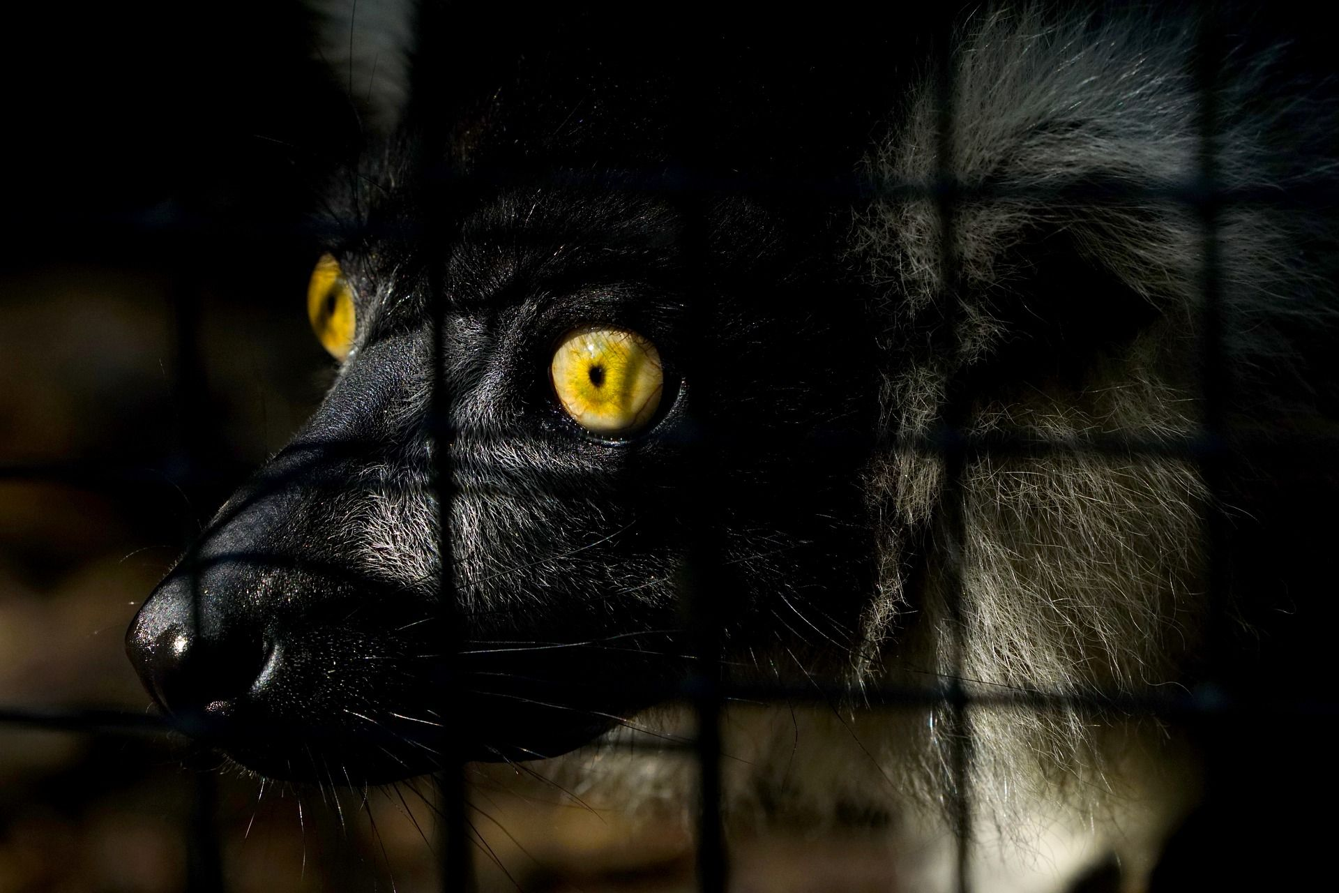 A lemur in a cage. Studies show that 95 percent of lemur species are at risk of extinction. Get involved at Lady Freethinker.