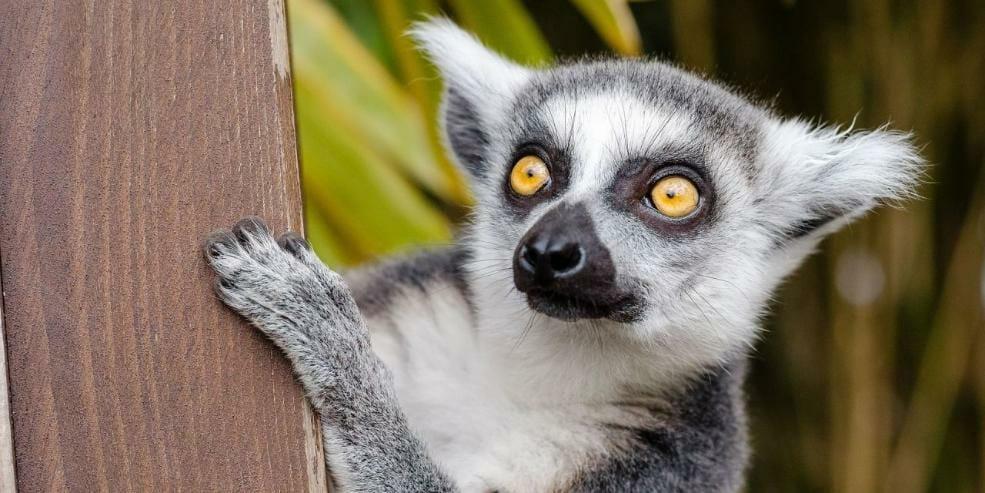 95% of Lemur Species are In Danger of Going Extinct