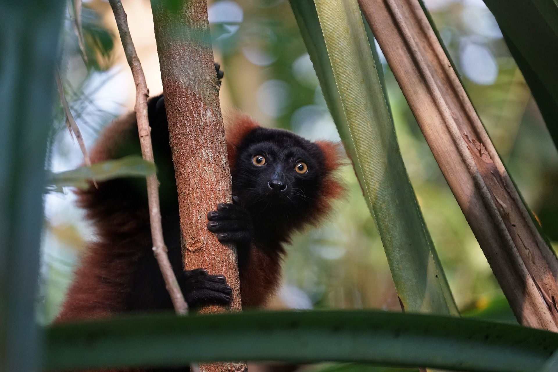 A lemur in the wild. Surveys show that 95 percent of lemur species are in danger of extinction. Get involved at LFT.