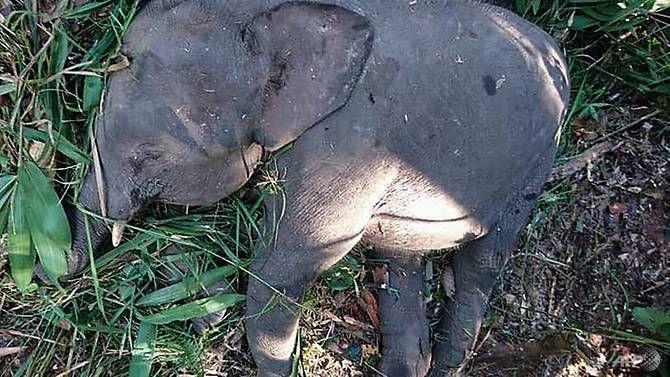 SIGN: Justice for Endangered Pygmy Elephant Shot Dead for Revenge