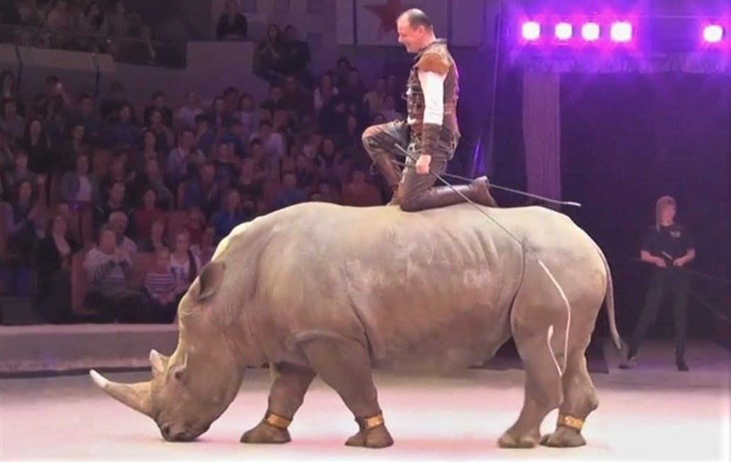 White rhino in Russian circus