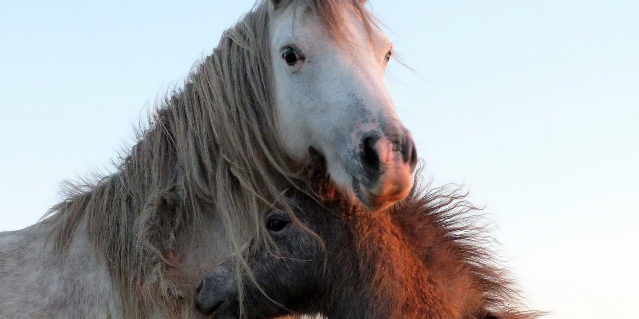 UPDATE: Adoption Program Sending Wild Horses To Slaughter Challenged By Lawsuits and Lawmakers