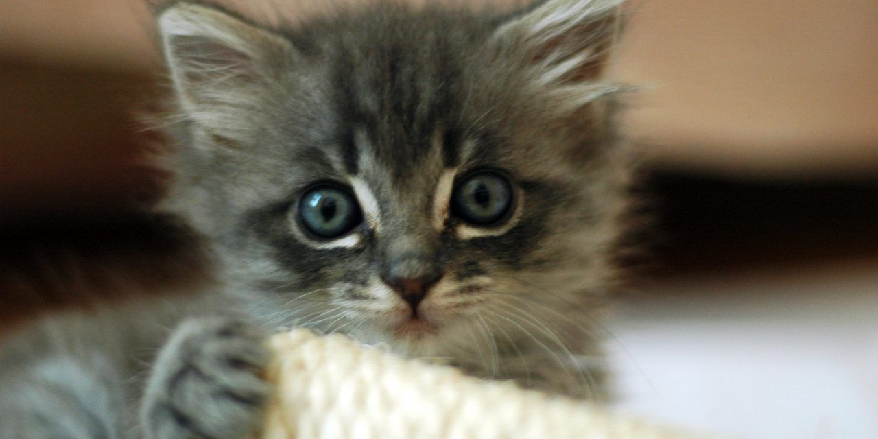 Anti-Vivisection Group Offers to Adopt All Lab Kittens from USDA